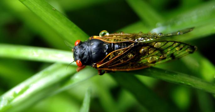 Novel Research Involving Cicadas Explores Way to Restore Silenced Voices